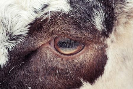 005-sheep